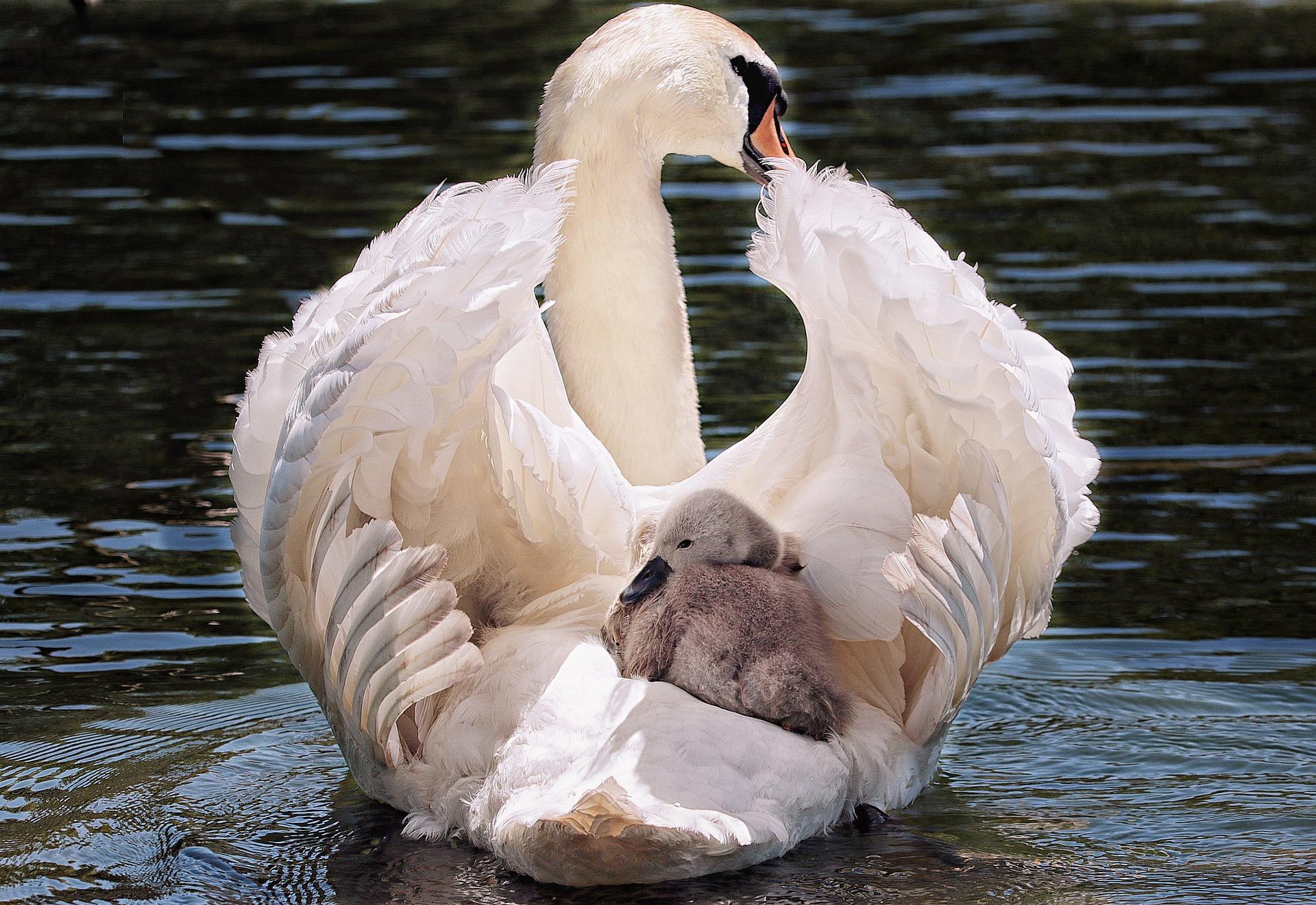 白鳥の親子
