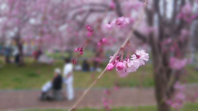 桜と車いす